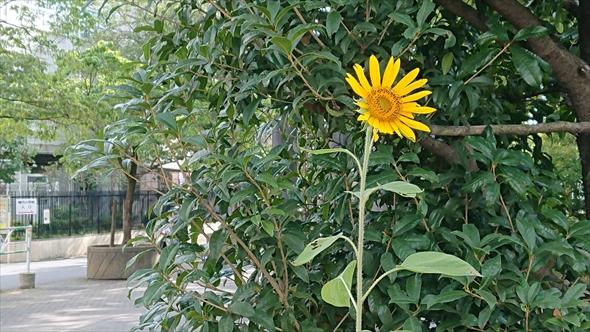 初台ハーベストコミュニティパークの花壇で花を咲かせた代官山の「ひまわりガーデン」から種をもらったひまわり。